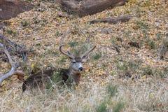 Nice Mule Deer Buck in Velvet. A nice mule deer buck in velvet in Utah bedded stock photography