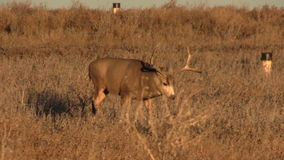 Nice Mule Deer Buck Walking Stock Images