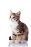 Nice multi-colored kitten. Multi-colored small kitten. Kitten on a white background. Small predator. Small cat Stock Photos