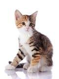 Nice multi-colored kitten. Royalty Free Stock Image