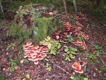 Beautiful mushrooms in forest, Lithuania Stock Image