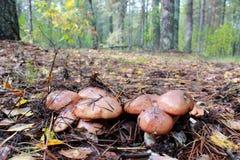 Nice mushrooms of Suillus Stock Images