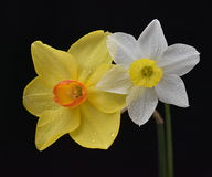 Nice narcissus flowers. Nice spring flowers on dark background Stock Photography