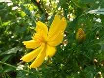 Beautiful yellow color flower of sri lanka royalty free stock photography