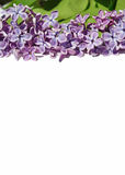 Nice natural spring background with lilac flowers for congratula Royalty Free Stock Image