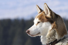 Nice nordic dog in the snow. Dog of traineau in the snow Royalty Free Stock Image