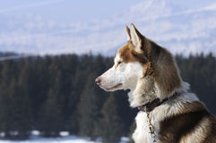 Nice nordic dog in the snow. Dog of traineau in the snow Stock Photography