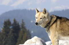 Nice nordic dog in the snow. Dog of traineau in the snow Stock Photo