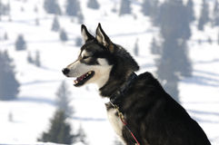 Nice nordic dog in the snow. Dog of traineau in the snow Royalty Free Stock Images