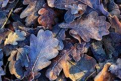 Nice oak's frozen leafage Stock Image