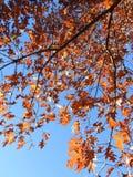 Beautiful colors autumn tree, Lithuania Stock Photography
