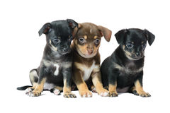 Nice one brown and two black Chihuahua puppy. Isolated on a white background image Royalty Free Stock Images