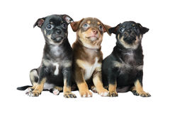 Nice one brown and two black Chihuahua puppy,. Isolated on a white background image royalty free stock images