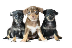 Nice one brown and two black Chihuahua puppy. Nice one brown and two black Chihuahua puppy, isolated on a white background image Stock Photo