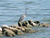 Beautiful heron bird on stones near  lake coast, Lithuania Royalty Free Stock Photography