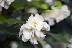 Nice onion flowers. In the sunshine in my garden Stock Photos