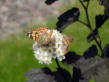 Beautiful butterfly on white flowers, Lithuania. Nice orange butterfly on white flower in summer, can use as background royalty free stock photos