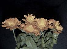 Nice orange flowers on a black background Royalty Free Stock Photo