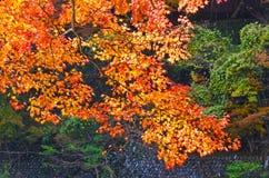 Nice Orange Maples Stock Photos