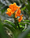Nice Orange Orchid with Green background stock photo