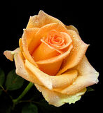 Nice orange rose Royalty Free Stock Image