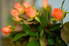 Nice orange roses Stock Images