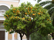 Nice - Orange tree Royalty Free Stock Image