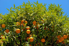 Nice - Orange tree Stock Photo