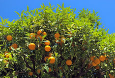 Nice - Orange tree Royalty Free Stock Images