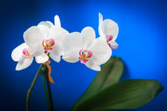 Nice orchid flowers Royalty Free Stock Photography