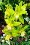 Nice orchid in garden Royalty Free Stock Photos