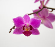 Nice orchid Royalty Free Stock Images
