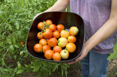 Nice organic tomatoes Stock Photography