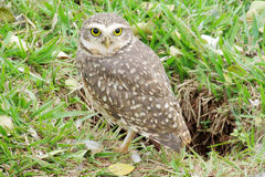 Nice owl on grass Stock Images