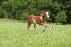 Nice Paint horse filly running on pasturage Stock Photo