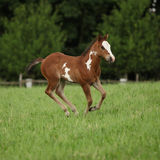 Nice Paint horse filly running on pasturage Royalty Free Stock Images