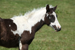 Nice paint horse foal on pasturage Royalty Free Stock Photo