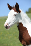 Nice paint horse foal on pasturage Royalty Free Stock Photography