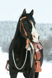 Nice paint horse with horse equipment in winter Royalty Free Stock Photos