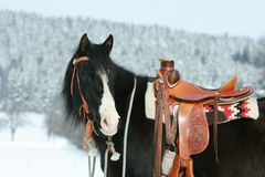 Nice paint horse with horse equipment in winter Stock Image