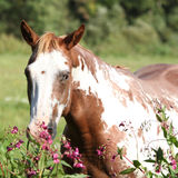 Nice paint horse mare behind purple flowers Royalty Free Stock Images