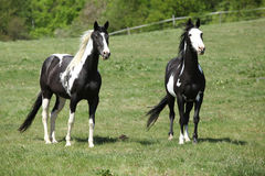 Nice paint horses on pasturage Stock Photography