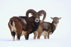 Nice pair of two mouflons Stock Photo