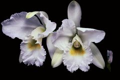 Nice pair of white orchids. Big white beautiful orchid flowers. It& x27; s named Stock Photo
