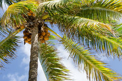Nice palm tree with coconuts Royalty Free Stock Photography