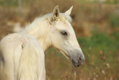 Nice palomino foal on the grass background. Beautiful foal. Free horse. Palomino horse stock illustration