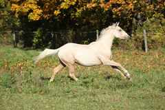 Nice palomino foal running in autumn Stock Photos