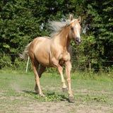 Nice palomino horse with long blond mane running. On pasturage Stock Image
