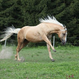 Nice palomino horse with long blond mane running Royalty Free Stock Image