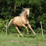 Nice palomino horse with long blond mane running Stock Photos